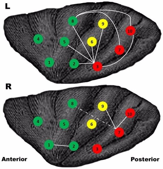 각 포인트 사이의 실선은 뇌의 연결성을 나타냅니다